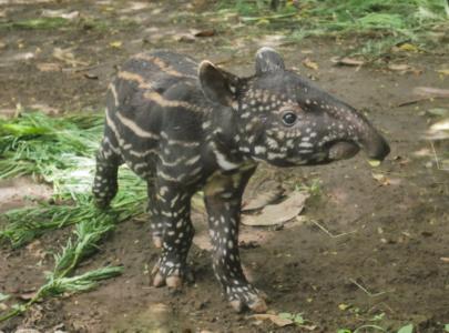 Lucu Banget! Bayi Tapir Jadi Anggota Baru Secret Zoo