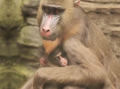 Kelahiran Baby Mandrill di Batu Secret Zoo
